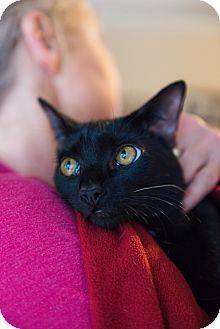 American Shorthair Cat for adoption in Navarre, Florida - Leia