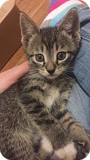 Domestic Shorthair Kitten for adoption in Breinigsville, Pennsylvania - Archer
