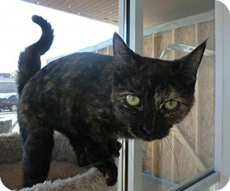 Domestic Shorthair Cat for adoption in Livonia, Michigan - Angelique-ADOPTED