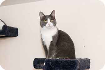 Domestic Shorthair Cat for adoption in Chicago, Illinois - Bluebird