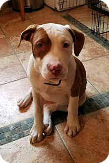 Boxer/Terrier (Unknown Type, Medium) Mix Puppy for adoption in Detroit, Michigan - Foxy Brown-Adopted!