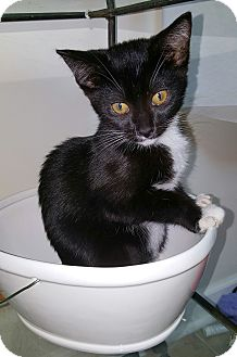 Domestic Shorthair Kitten for adoption in Marietta, Georgia - Kismet