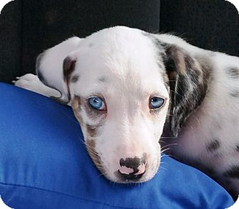 Catahoula Leopard Dog Puppy for adoption in Goodlettsville, Tennessee - Jude