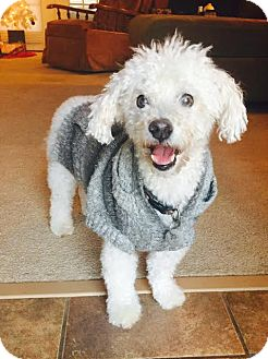Bichon Frise Mix Dog for adoption in Bedminster, New Jersey - Charlie Brown
