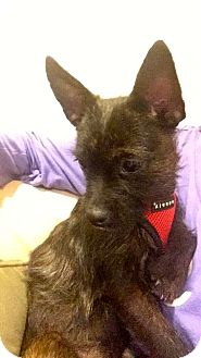 Yorkie, Yorkshire Terrier/Cairn Terrier Mix Puppy for adoption in Nanuet, New York - Banjo