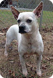 Chihuahua/Rat Terrier Mix Dog for adoption in Homewood, Alabama - Hannah