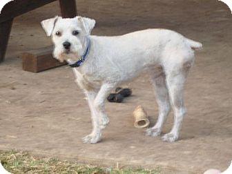 Standard Schnauzer Dog for adoption in Pipe Creed, Texas - Bernard