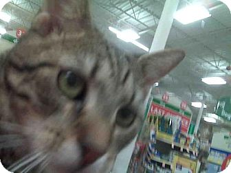 Domestic Shorthair Cat for adoption in Oviedo, Florida - Sammy