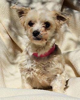 Yorkie, Yorkshire Terrier/Maltese Mix Dog for adoption in Pueblo, Colorado - Star