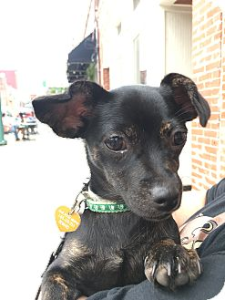 Dachshund/Chihuahua Mix Dog for adoption in Nashville, Tennessee - Maple