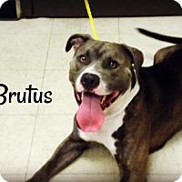Adopt A Pet :: Brutus - Defiance, OH