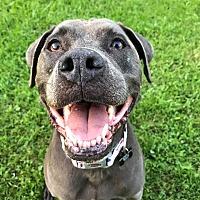 Adopt A Pet :: Karma! Legs for Days! - Eastpointe, MI