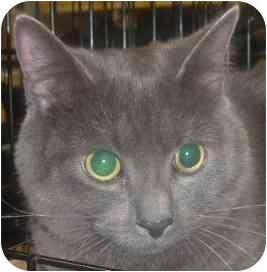 Domestic Shorthair Cat for adoption in Flagstaff, Arizona - Ink