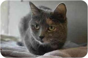 Domestic Shorthair Cat for adoption in Walker, Michigan - Sissy
