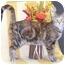 Photo 1 - Domestic Shorthair Cat for adoption in Murphysboro, Illinois - Gypsy