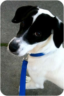 Foxhound/Pointer Mix Dog for adoption in Marina del Rey, California - Oreo