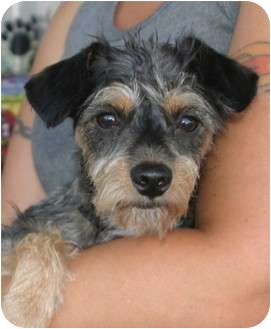 Yorkie, Yorkshire Terrier/Silky Terrier Mix Dog for adoption in Santa Ana, California - Baseline