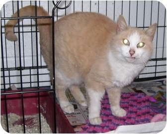 Domestic Shorthair Cat for adoption in Somerset, Pennsylvania - Tootsie