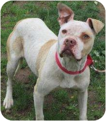 Boxer/American Pit Bull Terrier Mix Dog for adoption in Bloomfield, Connecticut - Splash