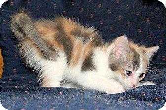 Domestic Shorthair Kitten for adoption in Brighton, Michigan - Dolly