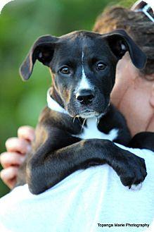 Labrador Retriever Mix Puppy for adoption in Boynton Beach, Florida - Dasha