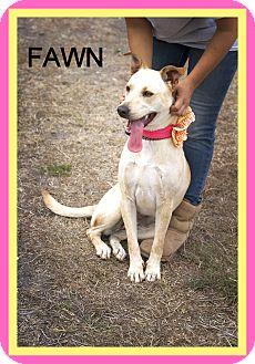 Labrador Retriever Mix Dog for adoption in Corpus Christi, Texas - Fawn