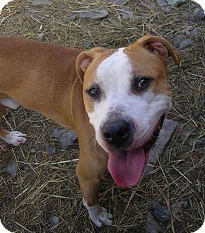 American Pit Bull Terrier Mix Dog for adoption in New York, New York - Wilson
