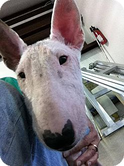 Bull Terrier Puppy for adoption in Houston, Texas - Penny