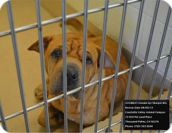 Shar Pei Dog for adoption in Apple Valley, California - Jewel