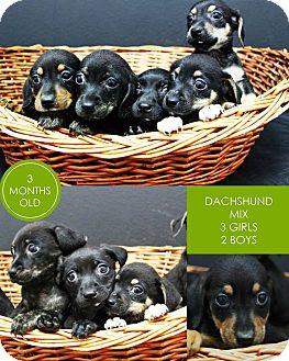 Dachshund Mix Puppy for adoption in Lufkin, Texas - Lily