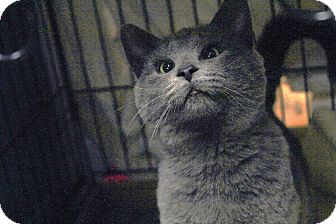 Russian Blue Cat for adoption in St. Louis, Missouri - Cirrus