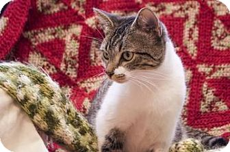 Domestic Shorthair Cat for adoption in Gainesville, Florida - Noel
