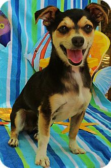Jack Russell Terrier/Chihuahua Mix Dog for adoption in Irvine, California - Benny