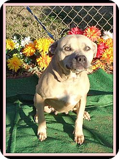 American Staffordshire Terrier Mix Dog for adoption in Marietta, Georgia - HAZEL