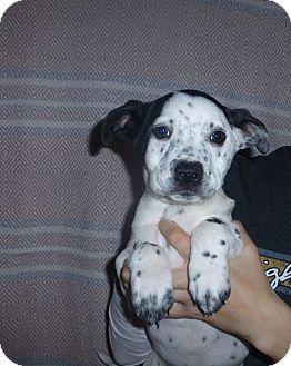 German Shorthaired Pointer/Border Collie Mix Puppy for adoption in Oviedo, Florida - Allie