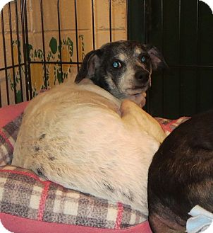 Rat Terrier Mix Dog for adoption in Elizabeth City, North Carolina - Sugar Baby