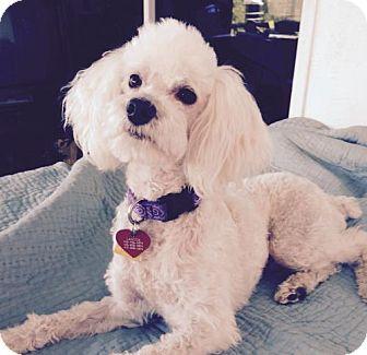Poodle (Miniature) Mix Dog for adoption in Walnut Creek, California - Freddy