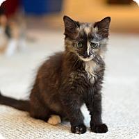 Adopt A Pet :: Ahri - St. Louis, MO