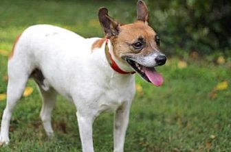 Feist Mix Dog for adoption in Sussex, New Jersey - HAROLD