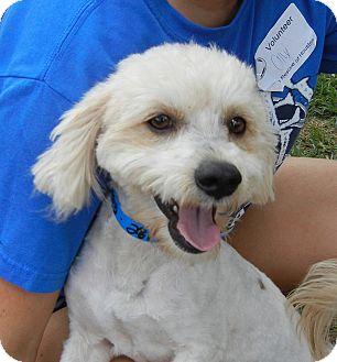 Poodle (Miniature) Mix Dog for adoption in Houston, Texas - Shaggy Boy
