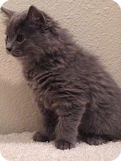Domestic Mediumhair Kitten for adoption in Scottsdale, Arizona - Moose