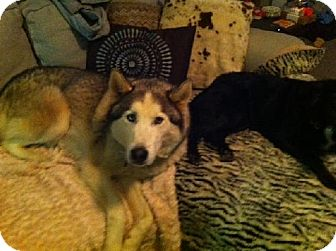 Siberian Husky Dog for adoption in Memphis, Tennessee - Wasabi~Update!