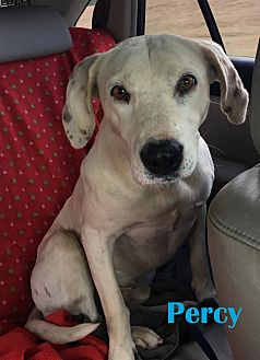 Labrador Retriever Mix Dog for adoption in Orangeburg, South Carolina - Percy
