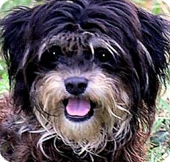 """Yorkie, Yorkshire Terrier/Poodle (Toy or Tea Cup) Mix Dog for adoption in Wakefield, Rhode Island - LENNY(ADORABLE 'TINY"""" FELLOW!!"""
