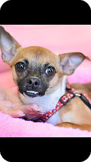 Chihuahua Mix Dog for adoption in Fort Myers, Florida - KOKO