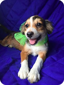 Collie Mix Puppy for adoption in East Hartford, Connecticut - August -meet me 9/16