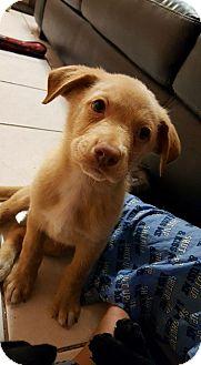 Labrador Retriever Mix Puppy for adoption in Lyndhurst, New Jersey - Diesel