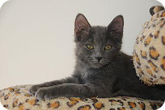 Domestic Mediumhair Kitten for adoption in Agoura Hills, California - Kasatka