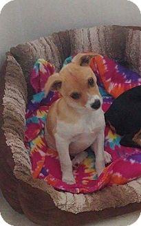 Feist/Miniature Pinscher Mix Puppy for adoption in Va Beach, Virginia - Sugar