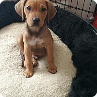 Adopt A Pet :: Katie's Puppy 5 - Pompton Lakes, NJ